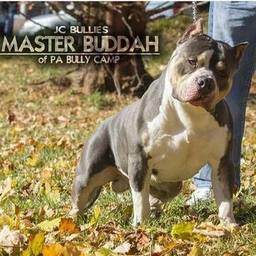 Litter Of 8 American Bully Puppies For Sale In York Pa Adn 46844