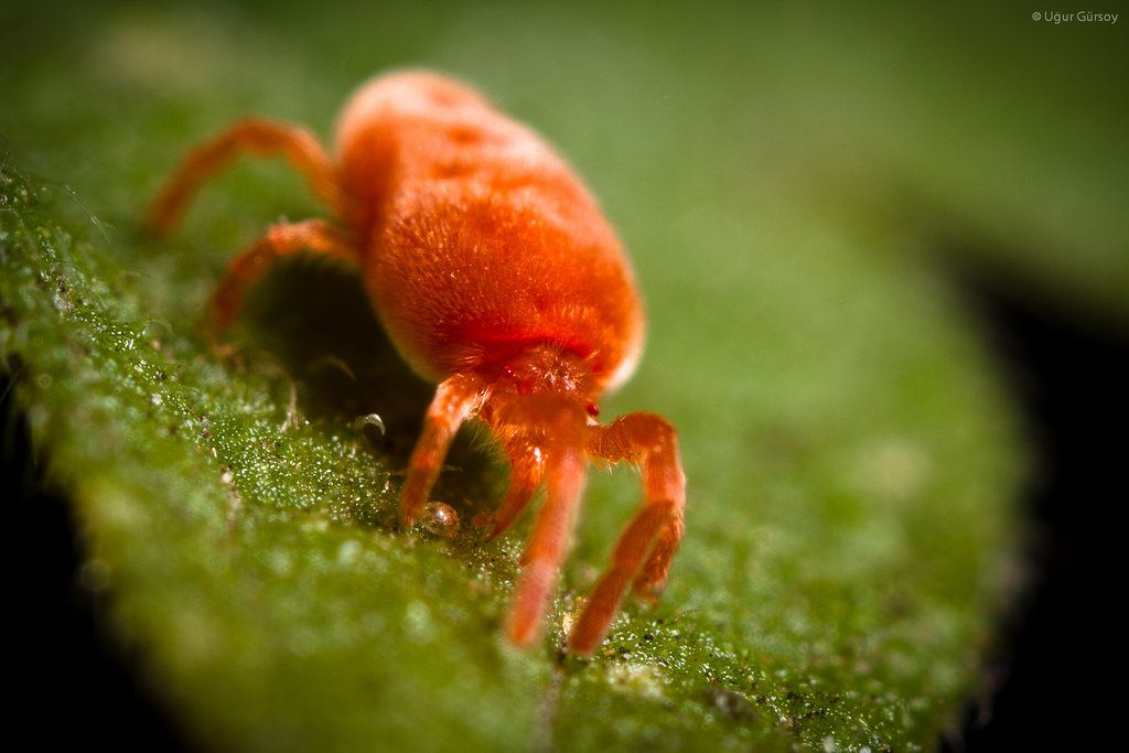 Red Spider Mite Common Greenhouse Pests Pinterest