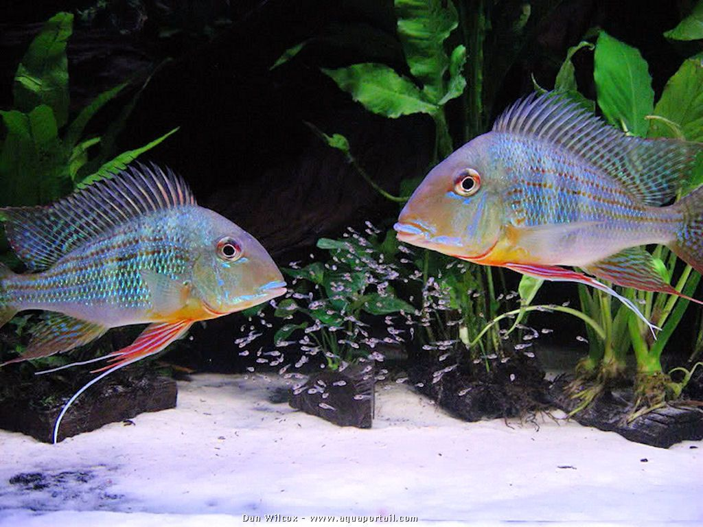 Family photo geophagus altifrons parents with their fry for Fry baby fish