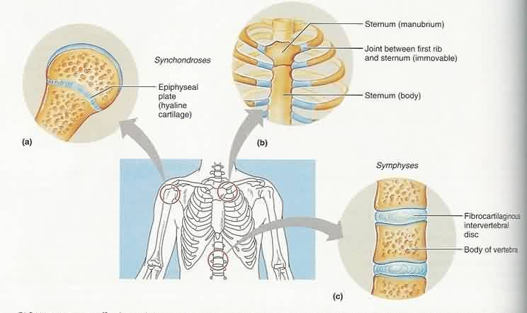 Pin On Anatomy Ot A synchondrosis joint is the first sternocostal joint (where the first rib meets the sternum). pin on anatomy ot