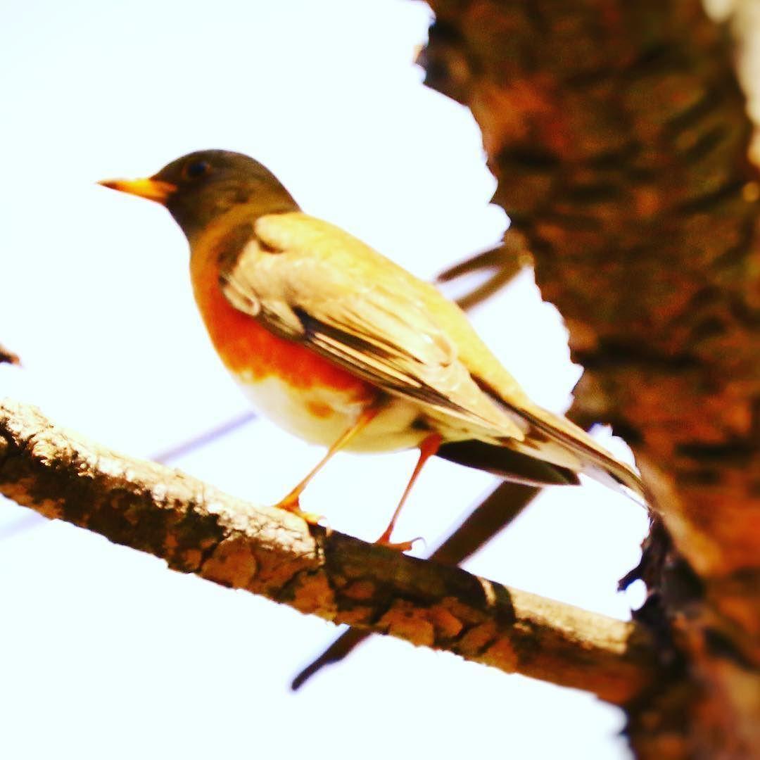 こんにちは   3日のお写ん歩で見つけた鳥さん   アカハラだと思うんだけど笑     #北海道#十勝#帯広#鳥#アカハラ#自然#素敵な景色#ファインダー越しの私の世界#写真好きな人と繋がりたい#写真撮ってる人と繋がりたい#bird#turduschrysolaus#beautifulscenery#landscape#natural by toshi23kotobuki
