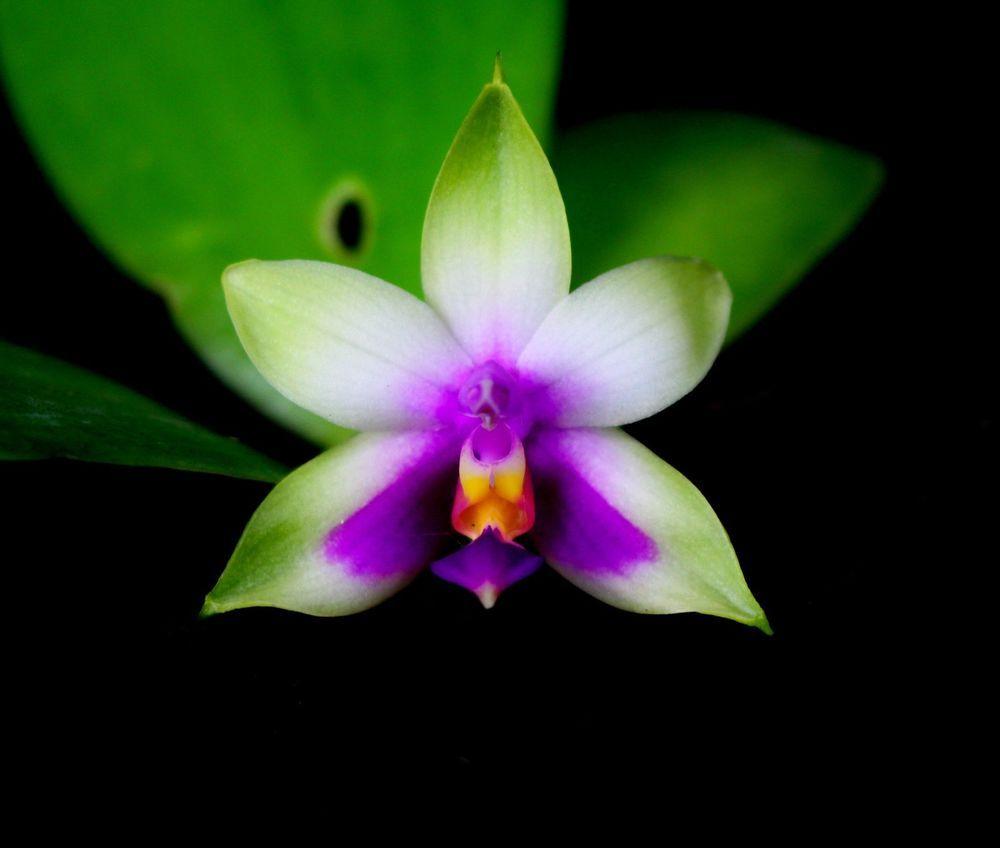 Phalaenopsis Bellina Orchid Species Fragrant Compact Variety T4p26 Plant Seedlings Orchids Beautiful Orchids