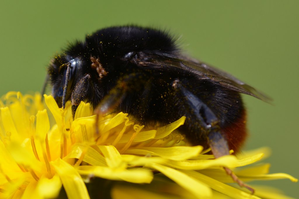 nyanc posted a photo:  I'd never seen this before but it turns out these mites are not uncommon.  These mites are detritivores that live in bumblebee nests, eating old wax and general bee generated rubbish; when the nests are abandoned over winter this causes a problem for the mites, so they hitch a ride on queen bumblebees to get to the next active nest.  They may look quite scary when they are seen seemingly infesting queen bumblebees but they don't spread disease, parasitise or damage the…