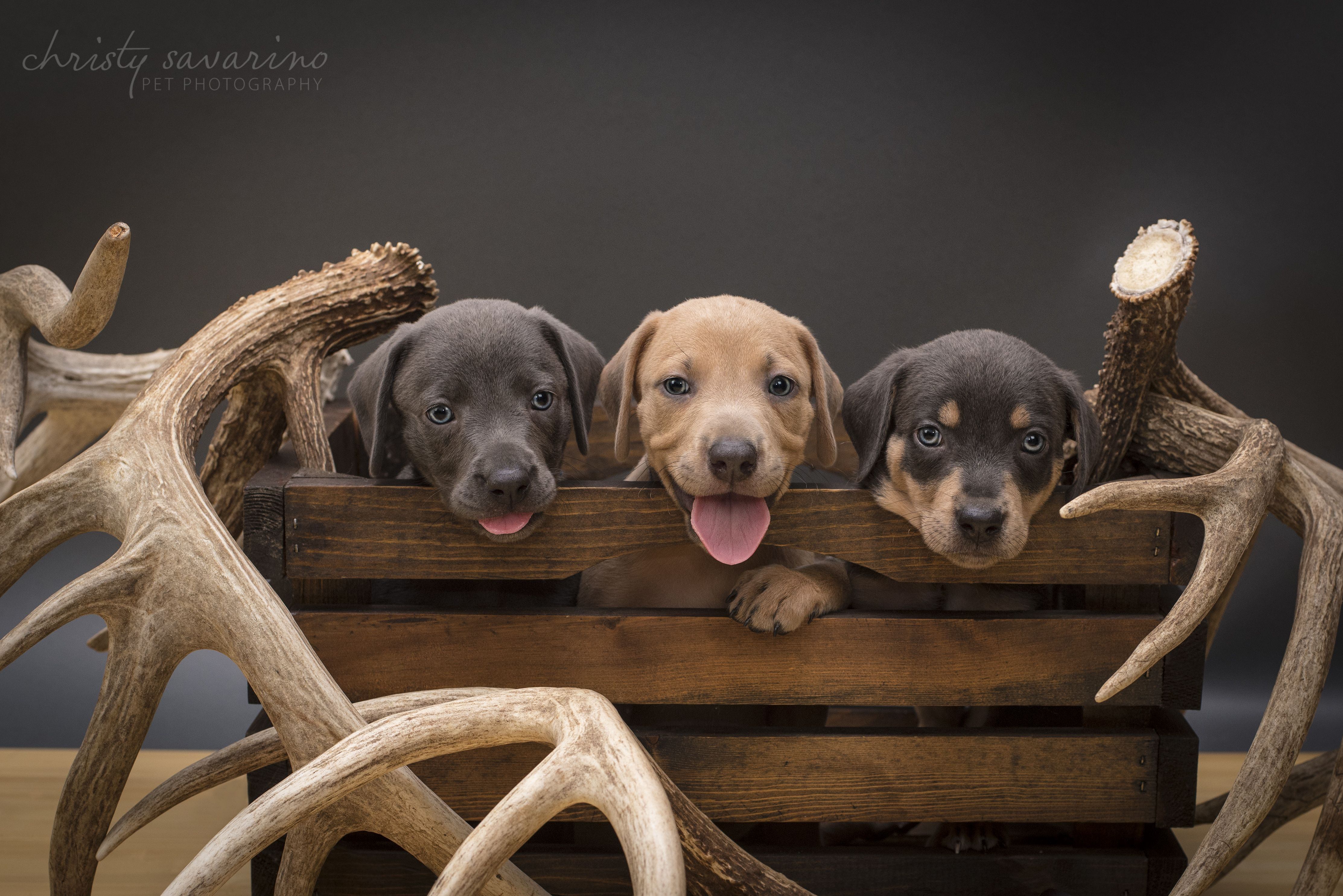 South Texas Lacy Dogs blue red tri Lacy puppies 2016