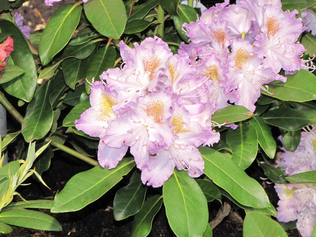 R Virginia Delp 15 Degrees With Images Rhododendron Plant
