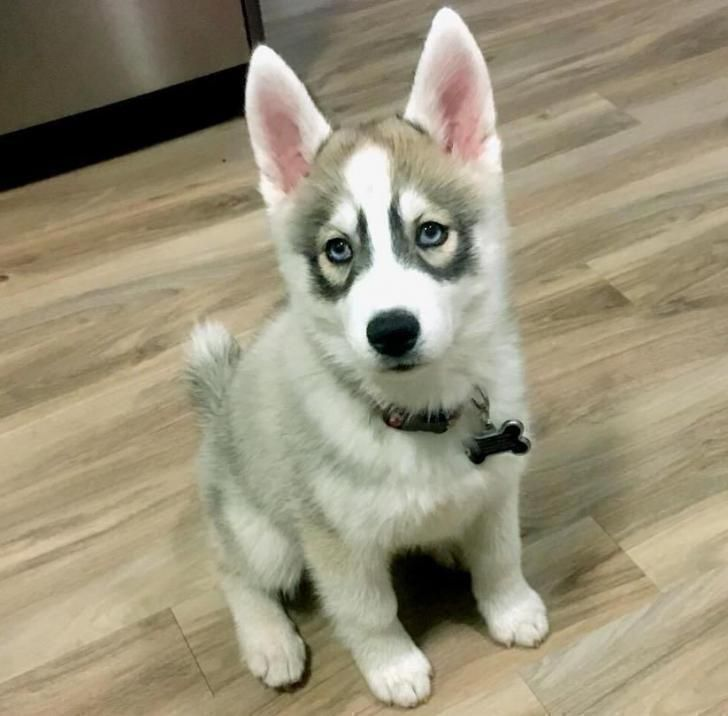 Siberian Husky Santa Fe Male Husky Ready To Identify A New Loving