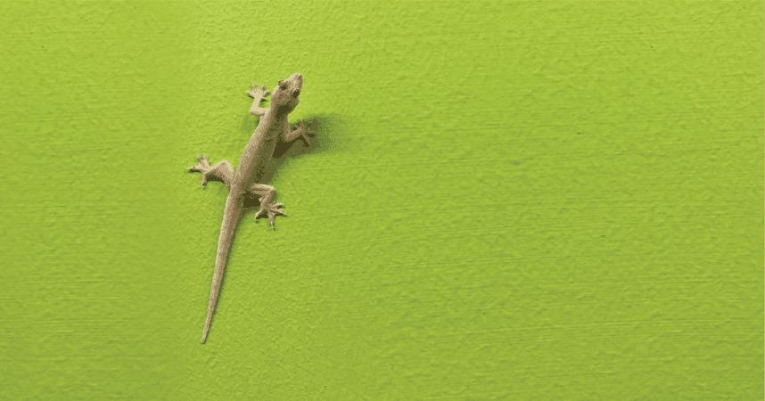 6b2d43080e28e2b6aad3725608fb6717 - How To Get Rid Of Wall Lizards At Home