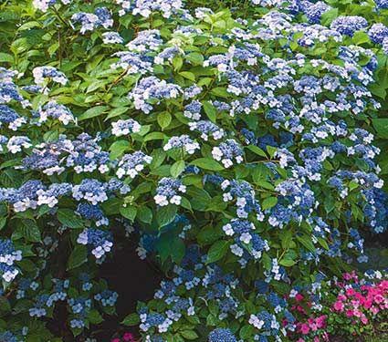 Hydrangea Serrata Blue Billow White Flower Farm