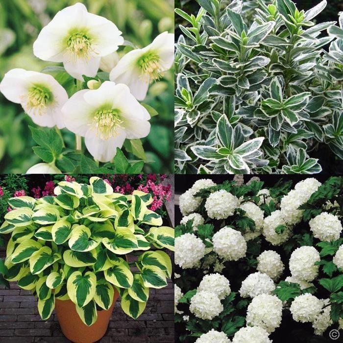 wei er schattengarten 6 pflanzen und str ucher g nstig online kaufen bestellen sie schnell. Black Bedroom Furniture Sets. Home Design Ideas