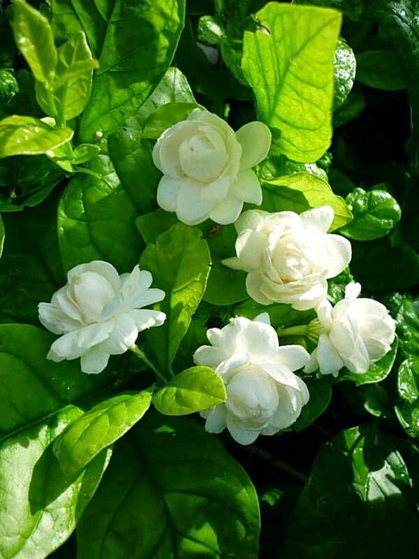 One Of The Most Potent And Wonderful Smells In The World Jasminum