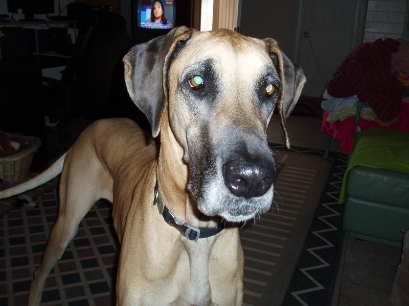 Adopt Pinky On Great Dane Rescue Great Dane Dogs Dane Dog
