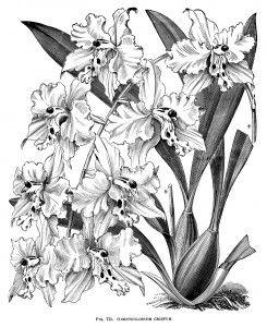Odontoglossum Crispum Free Vintage Clip Art Clip Art Vintage Line Art Vintage Flowers