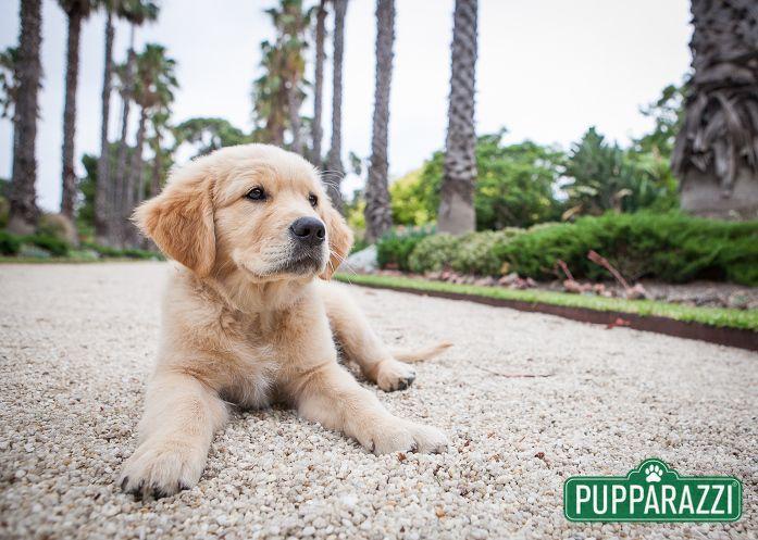 Zinta Zac Labrador Puppy