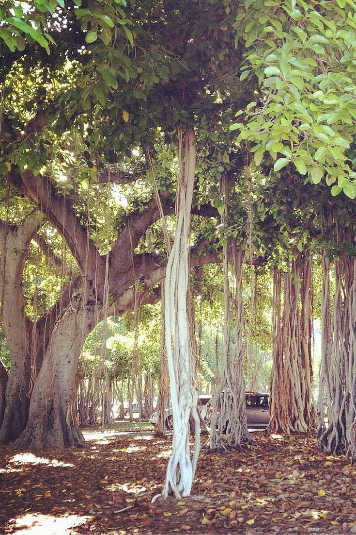 Giant Banyan Tree Off Of Waikiki Beach