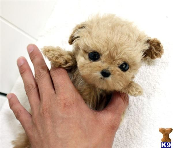 Poodles smart active and proud teacup poodles poodle for Tiny puppies that stay tiny for sale