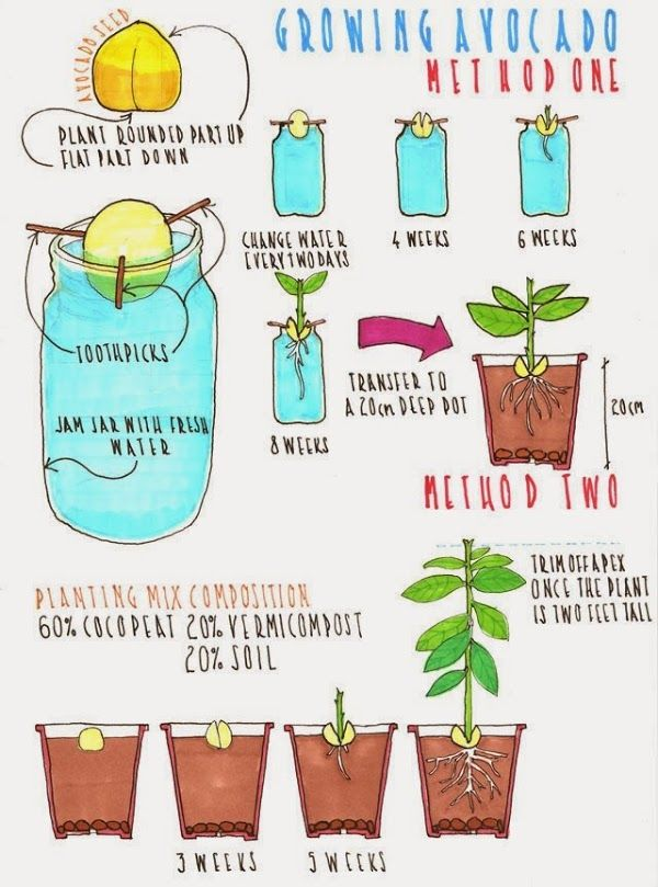 how to grow avocados in containers