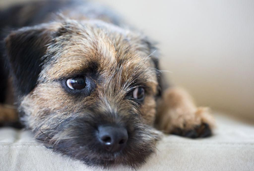 Worried In 2020 Border Terrier Training Your Dog Dogs