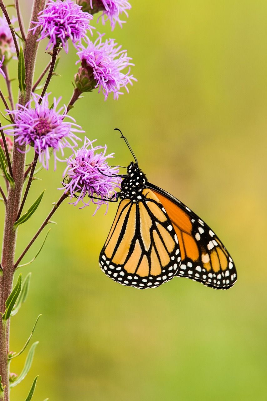 Free Image on Pixabay  Monarch Butterfly, Flower, Blossom is part of Monarch butterfly images, Monarch butterfly, Butterfly flowers, Monarch, Butterfly, Blossom flower - Download this free picture about Monarch Butterfly Flower Blossom from Pixabay's vast library of public domain images and videos