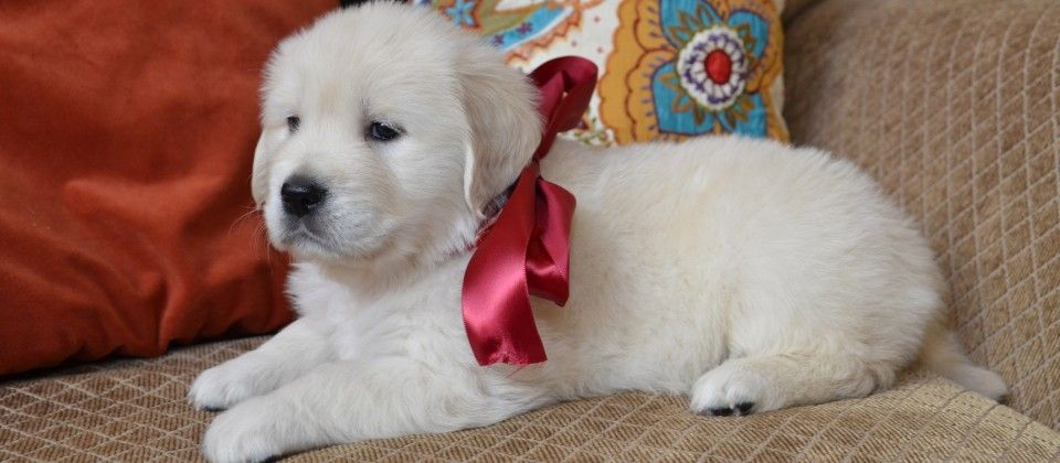 English Cream Golden Retriever White Golden Retriever Puppy