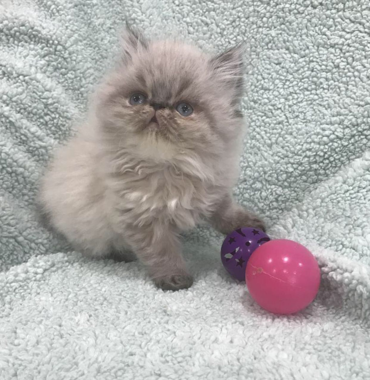 persian kittens for sale New Jersey http//www