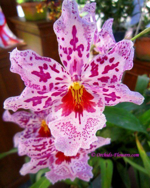 Google Image Result for http://www.orchids-flowers.com/wp-content/gallery/orchid-flower/odontonia-susan-bogdanow.jpg