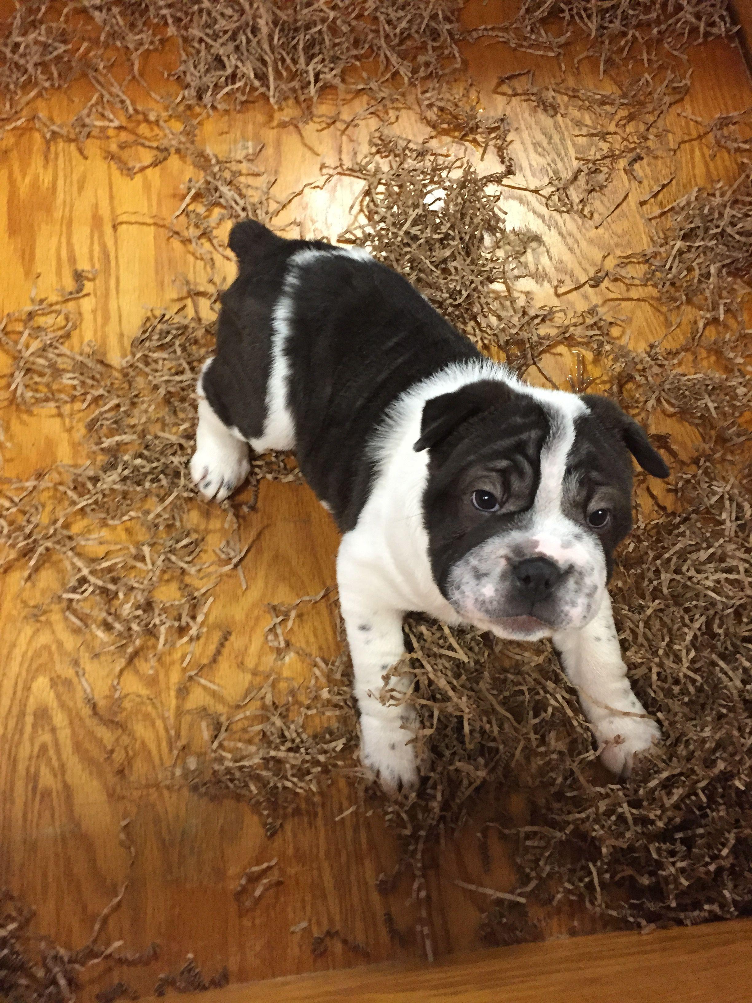 Her English Bulldog And Shar Pei Mix Bullpei Animal