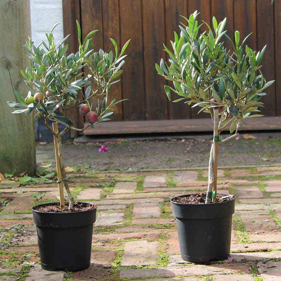 Image result for potted small olive tree Olive tree gift