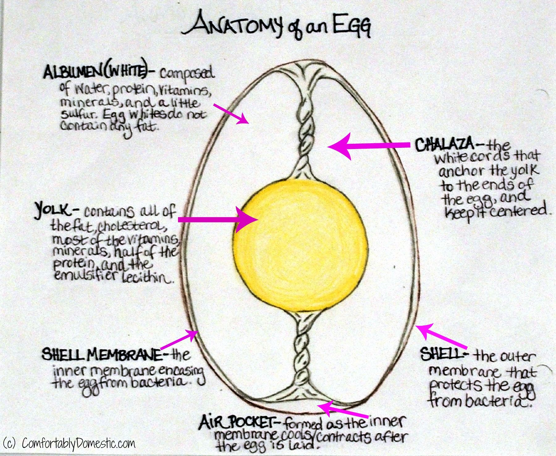all about eggs binding stuff and creamy fluff anatomy egg and food