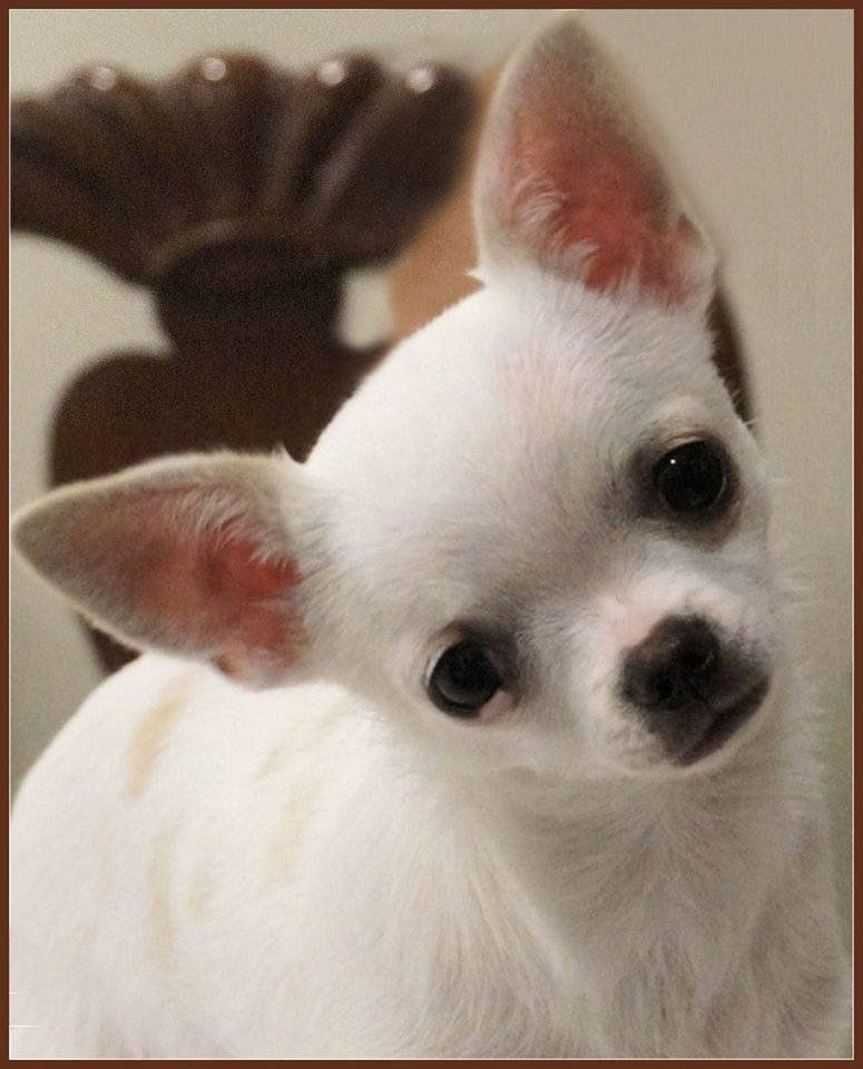 Chihuahua Dog Breed Information American Kennel Clu Chihuahua