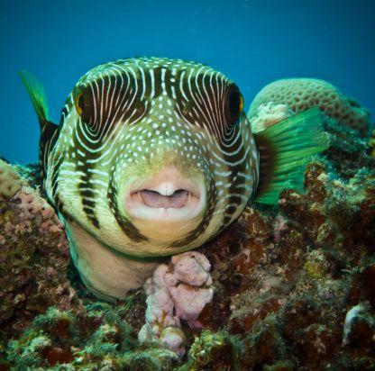 Close Up Of Star Puffer Fish In Red Sea Ocean Creatures Sea Fish Underwater Creatures