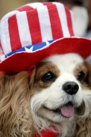 SOOooooo cute!  ......cavalier king charles...as I've said if I ever get a dog this guys is who I want now more than ever as he Blesses America