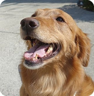Pin By Suemillion On Rescues Dogs Golden Retriever Pets Golden
