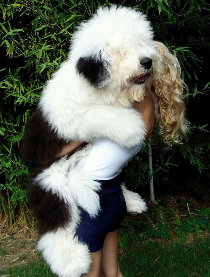 Big sweet old English sheepdog! | FURRY BABIES | Pinterest ...