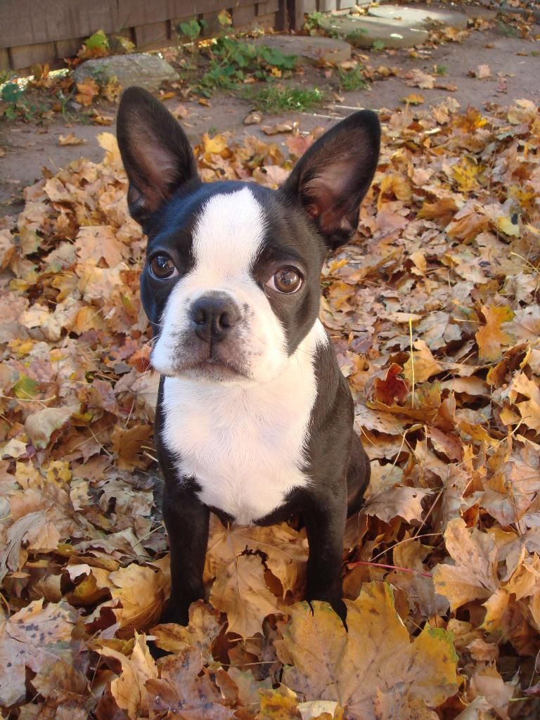 Boston Terrier Lucy