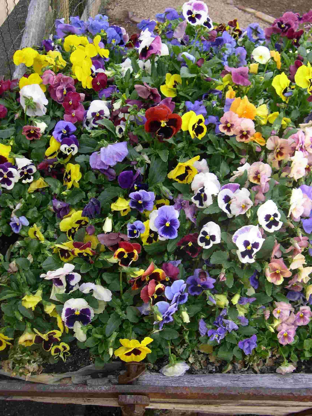 icicle pansies - plant in September and enjoy now.  Enjoy again next spring.