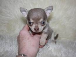 Chihuahua Dogs And Puppies For Sale In The Uk Pets4homes Chihuahua Dogs Chihuahua Puppies Cute Chihuahua