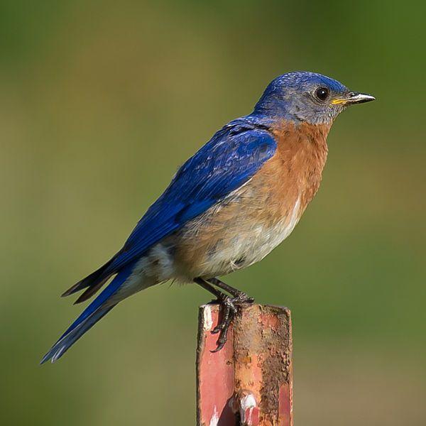 North Carolina Thrush Birds Blue Bird Colorful Birds Bird