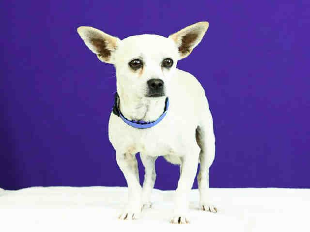 ID#A455656 I am described as a male, white Chihuahua - Smooth Coated mix. The shelter thinks I am about 6 years old. I have been at the shelter since Oct 07, 2015 and I am available for adoption now! If you think I am your missing pet, please call or visit right away. For more information about this animal, call: Moreno Valley Animal Shelter at (951) 413-3790 Ask for information about animal ID number A455656