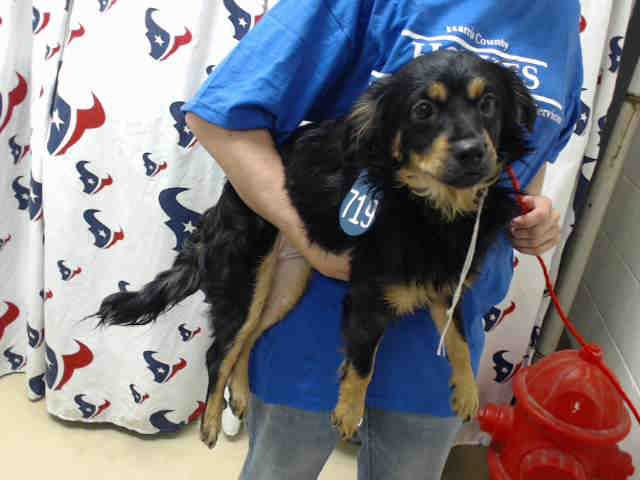 Shaba Id A465440 Urgent Harris County Animal Shelter In Houston Texas Adopt Or Foster 4 Month Old Female Caval With Images Animal Shelter Humane Society Animals