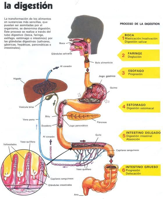 Touch Esta Imagen Proceso De Digestion De Los Alimentos By Ayda Rivera Acha Medical School Studying Medical Studies Medical Anatomy