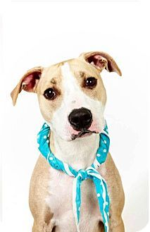 In New York? Adopt Te'Sa! Such a cutie. http://www.adoptapet.com/pet/7858082-new-york-new-york-american-pit-bull-terrier-mix