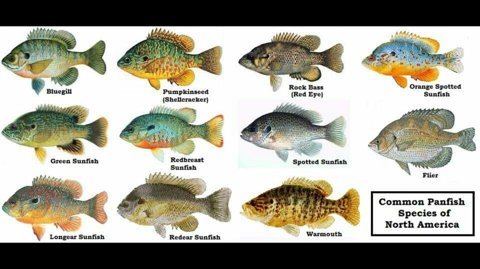 1dbd9944 Panfish identification Crappie Fishing, Fishing Bait, Fly Fishing Forum,  Best Fishing Lures,