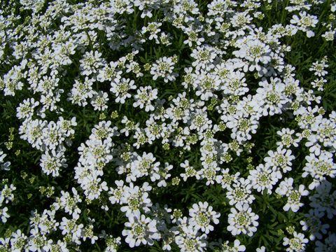 Iberis Corbeille D Argent Iberis Sempervirens Fleur