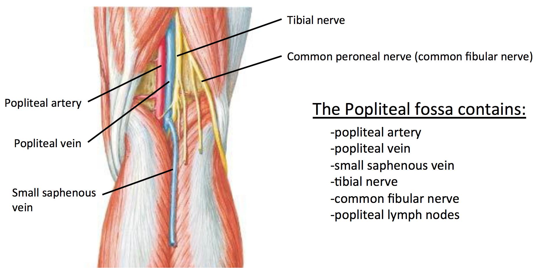 Popliteal Fossa Google Search Palpations Remedial Massage