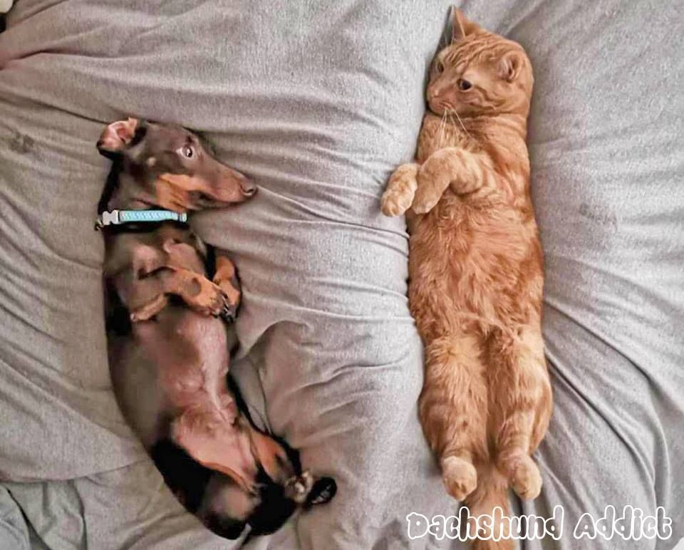 Dachshunds And Cats Cats Sausage Dog Dachshund Love Dachshund