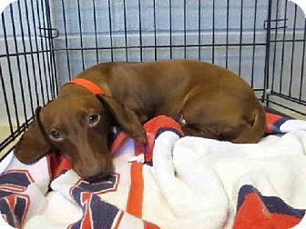 Raleigh Nc Dachshund Meet Speedy A Dog For Adoption Kitten