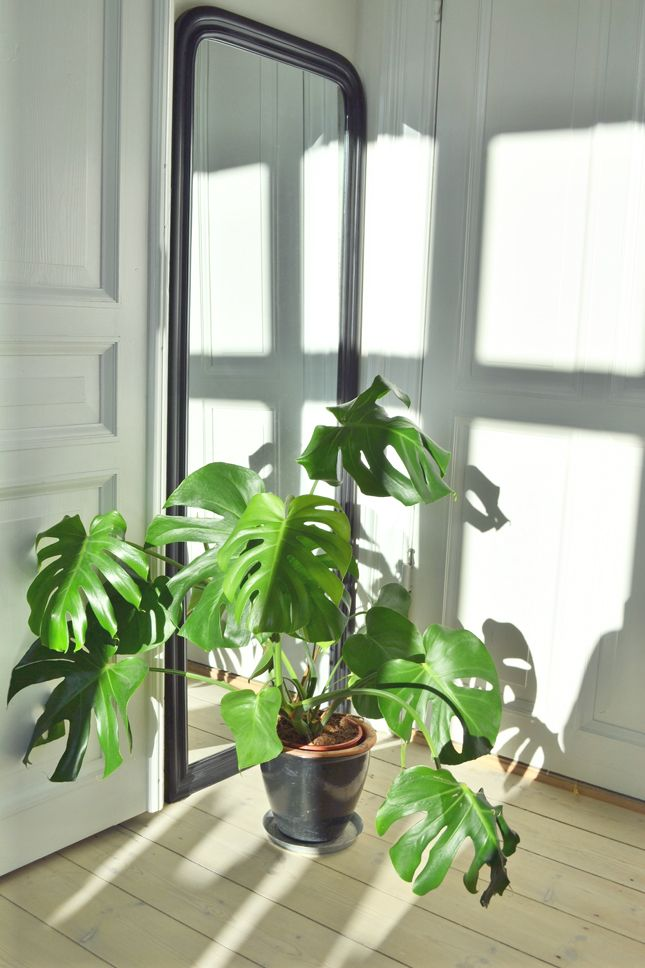 Monstera plant the home of stylist nathalie schwer via for Plante monstera
