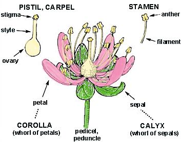 Structure Of A Plant Plant Adaptations Flowers Tree