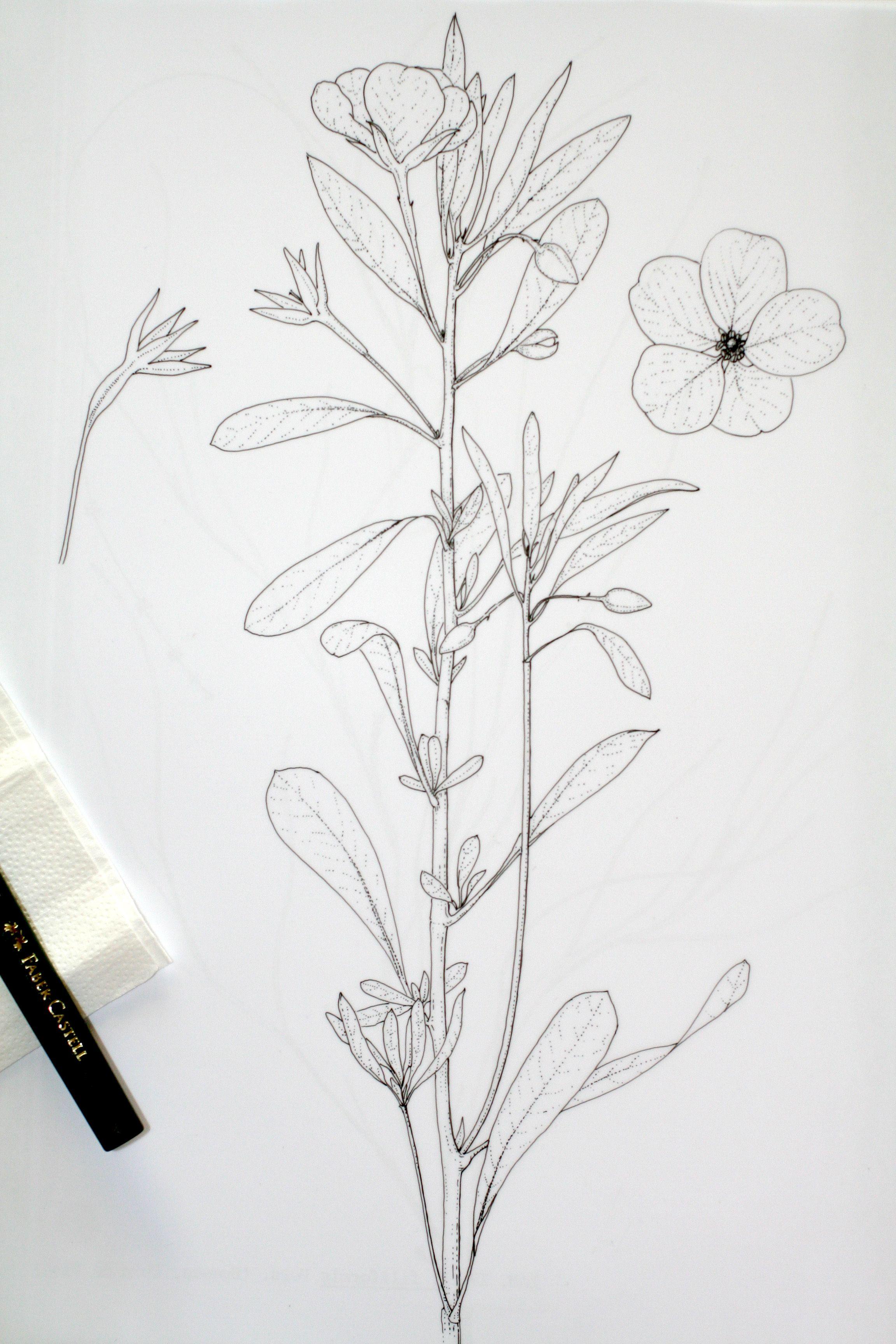 1 Marta Chirino Dibujo Cientifico Ludwigia Grandiflora