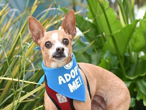 Pacific Grove, CA *senior* Chihuahua. Meet Butterbean a